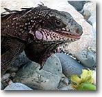 Virgin Island Iguana